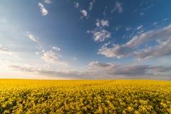 Żółty oilseed gwałta pole pod błękitnym jaskrawym niebem Zdjęcia Royalty Free