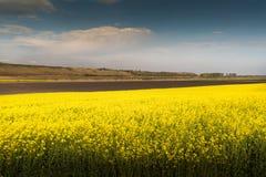 Żółty oilseed gwałta pole pod błękitnym jaskrawym niebem Zdjęcie Stock