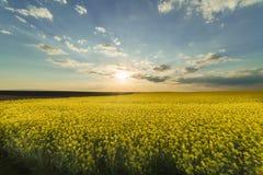 Żółty oilseed gwałta pole pod błękitnym jaskrawym niebem Obraz Royalty Free