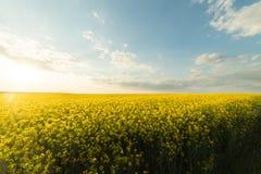 Żółty oilseed gwałta pole pod błękitnym jaskrawym niebem Fotografia Royalty Free