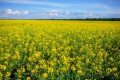 Żółty oilseed gwałta pole pod niebieskim niebem Zdjęcie Stock