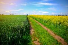 Żółty oilseed gwałta pole pod niebieskim niebem Zdjęcie Royalty Free
