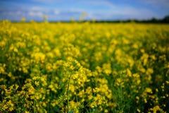 Żółty oilseed gwałta pole pod niebieskim niebem Fotografia Stock
