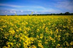 Żółty oilseed gwałta pole pod niebieskim niebem Obraz Royalty Free