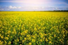 Żółty oilseed gwałta pole pod niebieskim niebem Obrazy Royalty Free
