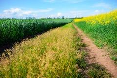 Żółty oilseed gwałta pole pod niebieskim niebem Obrazy Stock