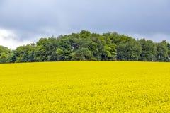 Żółty oilseed gwałta pole pod niebieskim niebem z słońcem Obrazy Stock