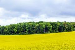 Żółty oilseed gwałta pole pod niebieskim niebem z słońcem Fotografia Stock