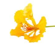 Żółty płomienia drzewa kwiat odizolowywający Obraz Stock