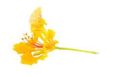 Żółty płomienia drzewa kwiat odizolowywający Fotografia Stock