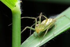 Żółty pająk Zdjęcia Stock