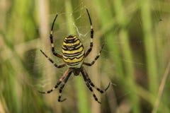 Żółty pająk na swój pajęczynie w zielonej trawie obraz royalty free