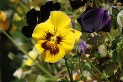 Żółty pansy Fotografia Stock