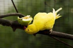 Żółty papuzi Obraz Stock