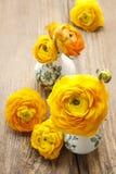 Żółty perski jaskier kwitnie na drewnianym backgrou (ranunculus) Obraz Stock