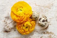 Żółty perski jaskier kwitnie na drewnianym backgrou (ranunculus) Obrazy Stock