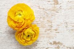 Żółty perski jaskier kwitnie na drewnianym backgrou (ranunculus) Zdjęcia Stock