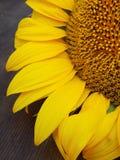 Żółty piękna słonecznikowy Fotografia Royalty Free