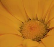 Żółty piękno Fotografia Royalty Free