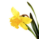 Żółty piękny kwiat narcyz. Obraz Stock