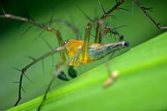 Żółty pider na zielonym liściu Obrazy Stock