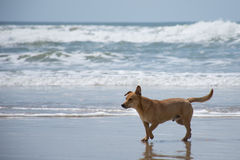 Żółty pies na plaży Zdjęcie Royalty Free