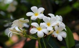 Żółty plumeria, Leelawadee kwiaty Zdjęcia Royalty Free