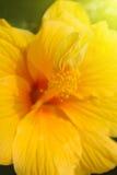 Żółty poślubnik Obrazy Royalty Free