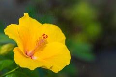 Żółty poślubnik fotografia stock