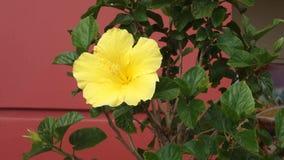Żółty poślubnik zbiory