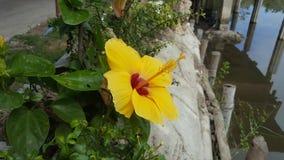 Żółty poślubnik Obraz Royalty Free