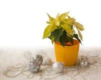 Żółty poinsecj euforbii pulcherrima Obrazy Royalty Free