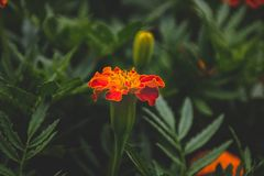 Żółty Pomarańczowy kwiat Zdjęcia Stock