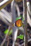 Żółty pomarańczowy motyli obsiadanie na gałąź Fotografia Royalty Free