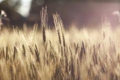 Żółty pszenicznego pola zbliżenia rocznika skutek Zdjęcie Stock