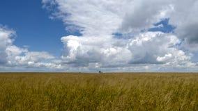 Żółty pszeniczny pole obraz stock