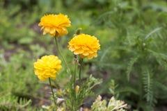 Żółty Ranunculus Kwitnie w ogródzie Zdjęcia Royalty Free