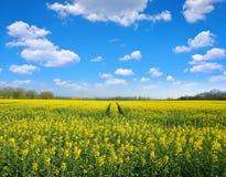 Żółty Rapeseed kwiatu pole Fotografia Royalty Free