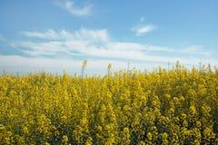 Żółty rapeseed kwitnie na polu zdjęcia stock