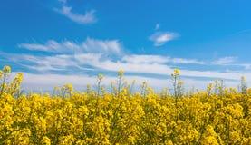 Żółty rapeseed kwitnie na polu obrazy royalty free
