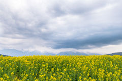 Żółty rapeseed pole w kraju z chmurną górą w t Obrazy Stock