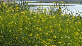 Żółty rapeseed wzdłuż małego jeziora Zdjęcie Stock