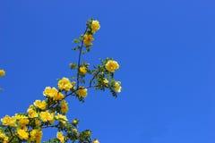 Żółty Rosa Obraz Stock