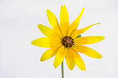 Żółty Rudbeckia hirta Fotografia Royalty Free