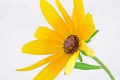 Żółty Rudbeckia hirta Zdjęcia Royalty Free