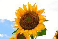 Żółty słońce kwiat Obrazy Royalty Free