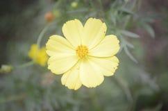 Żółty słońce kwiat obrazy stock