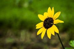 Żółty słońce kwiat w ogródzie Fotografia Royalty Free