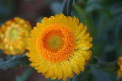 Żółty Słomiany kwiat: Środek rama Zdjęcia Royalty Free