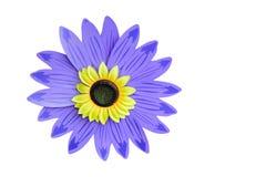 Żółty słonecznik klingeryt dla tła lub tła odosobniony Fotografia Stock